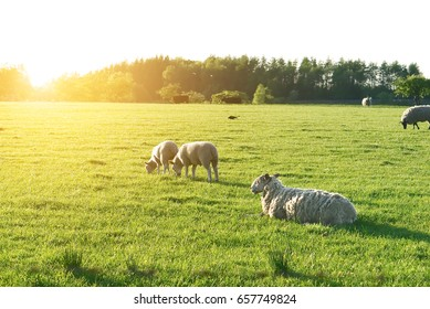 Sheep in a field with sunshine. Artistic glow effect added.