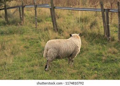 A sheep in a field turning away from the camera.