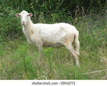 A sheep in the fields