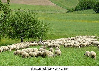 sheep of flock