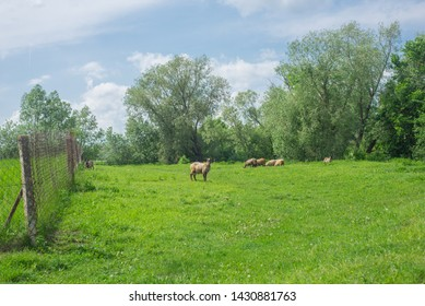 Sheep flock grazing on sheep farm pasture. Sheep farm scene. Sheep flock grazing on farm