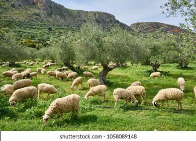 Sheep flock in olive grove in western Crete (Stilos)