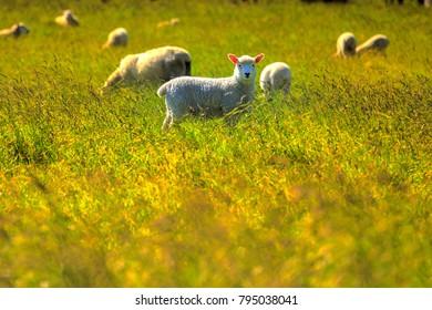 Sheep in a fresh green field