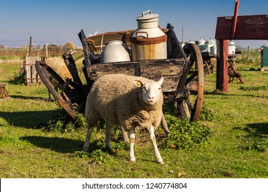 sheep in front of an ancient wooden carriage with milk cans