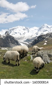 Sheep in front of Monte Rosa in Swiss Alps