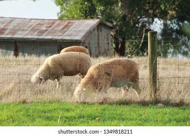 Sheep in front of old shearing shed in rural Australia.