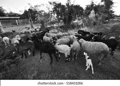 sheep and goat farm