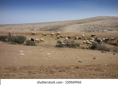 Sheep and Goats in grazing in the Negev desert in Israel