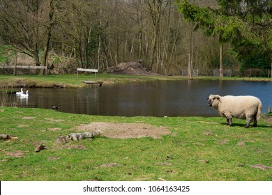 sheep with goose and bird, along water in Oisterwijk, The Netherlands