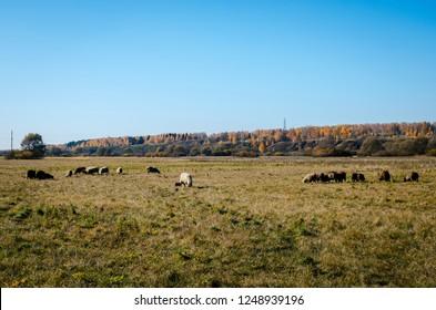 Sheep graze in the autumn in a meadow in Russia. Flock of sheep grazing in a meadow