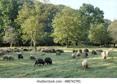 Sheep graze the grass. Transcarpathia