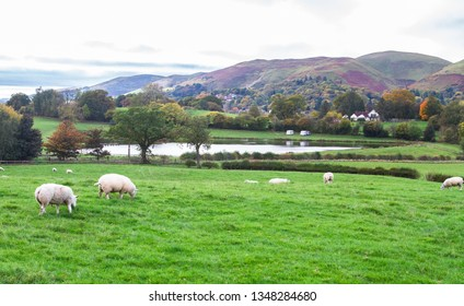 Shropshire Sheep Images, Stock Photos & Vectors | Shutterstock