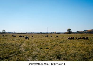 Sheep graze in a meadow in Russia. Herd of sheep grazing on a meadow