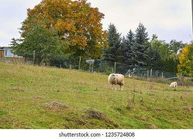 Sheep graze in the meadow. Sheep walk on the grass. A ram eating grass on a scorch. Sheep graze in the countryside. Pets lamb walk on nature. Ewe graze in the meadows of Germany.