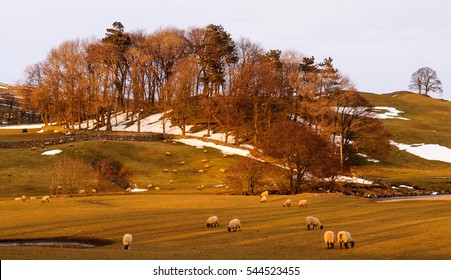 Sheep graze on pasture partially covered with winter snow in Wensleydale in England's Yorkshire Dales National Park.