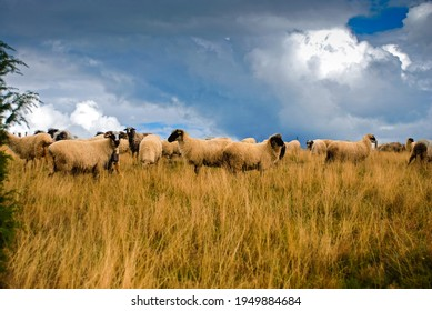 Sheep graze the pastures in autumn. Herd of sheep and lambs in mountains searching for food  on cloudy day. Group of domestic sheep on meadow eating green grass. Pasture on a hills.  - Shutterstock ID 1949884684