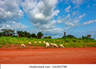 Sheep grazie on the side of the red soil countryside road in the Guinea, West Africa.