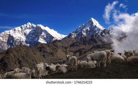 Sheep grazing along with Annapurna first and Annapurna South at the back. (left to right