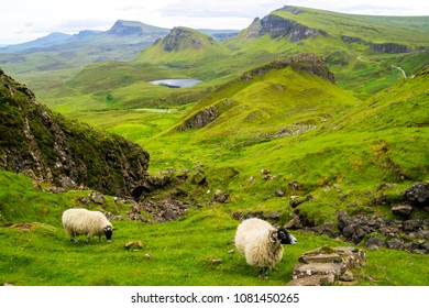 Sheep grazing alongside the trail at the Quiraing, Isle of Skye, Scotland, with beautiful views of the Quiraing in the background.
