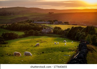 Sheep grazing in a beautiful landscape in the British countryside near the outskirts of Manchester.