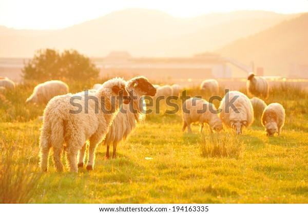 sheep-grazing-beautiful-landscape-summer