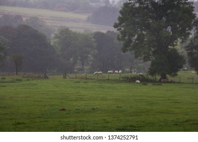Sheep grazing in farm field on a grey and misty morning. Troutbeck, Lake District, UK. October.