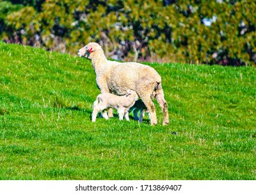 Sheep grazing in a field. Auckland, New Zealand