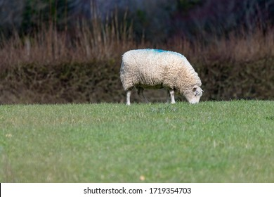 Sheep grazing in field of grass in countryside