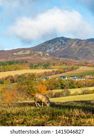 Sheep grazing in the fields with Ben Vrackie in the background, Perthshire, Scotland in late Autumn