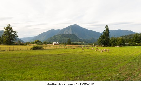 Sheep grazing in the fields of Los Rios Region, Valdivia zone, in southern Chile, Araucania Andean.