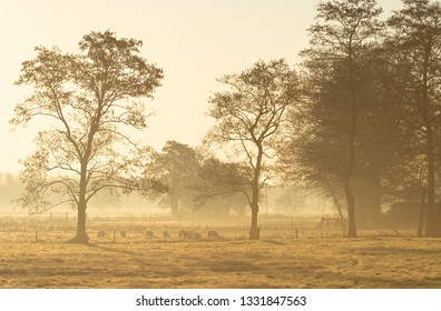Sheep grazing in the foggy countryside during a winter sunrise.
