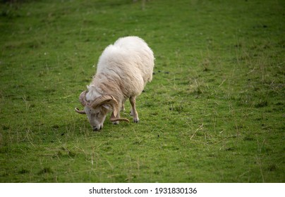 sheep grazing free on the meadow