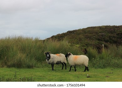 Sheep grazing in front of very tall grass somewhere in Connemara National park in Ireland