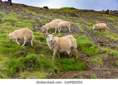 Sheep grazing in the Hengilssvaedid hot springs hiking trail near Reykjavik in the Golden Circle of Iceland.