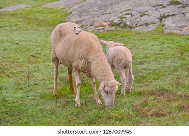Sheep grazing next to her lamb in the pasture