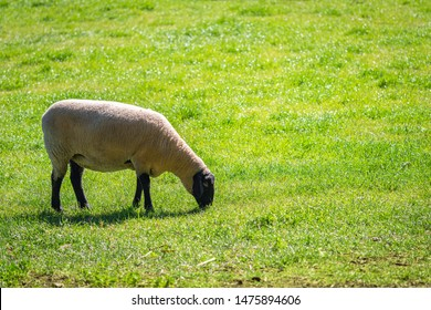 Sheep grazing on a daily farm in rural South Australia during winter season