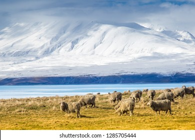 Sheep grazing a on a farm in Tekapo, New Zealand. Mountains are in the background.