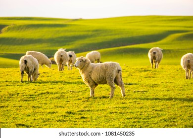 Sheep grazing on a field in the Catlins, New Zealand.
