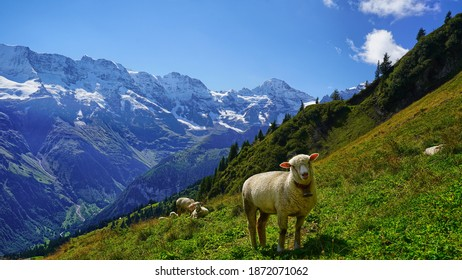 sheep grazing on the grass in the swiss alps - Shutterstock ID 1872071062