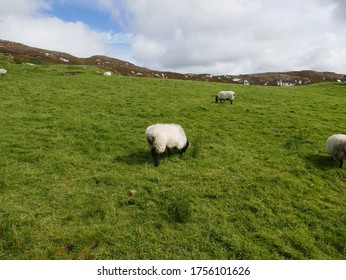 Sheep grazing on the green field