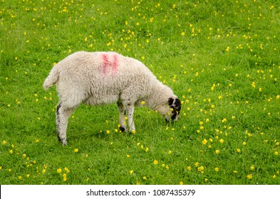 A Sheep grazing on green fields of grass in the town of Hilltop in The Lakes District, United Kingdom.