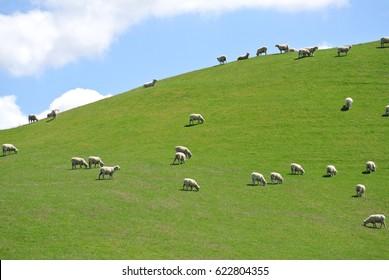 Sheep Grazing on a Green Hillside