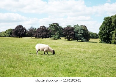 A sheep grazing on a green meadow.