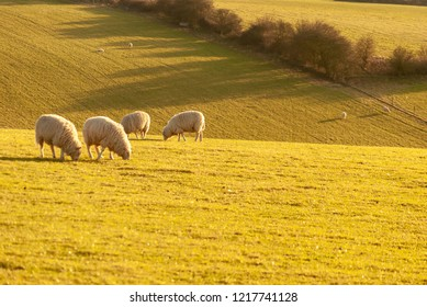 Sheep grazing on a hillside in late afternoon sunlight with shadows thrown by hawthorn hedgerow in the background