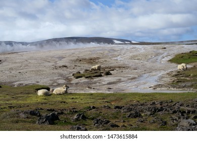 Sheep grazing on hot springs at Hveravellir Nature Reserve in Iceland