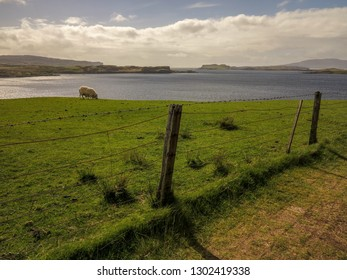Sheep grazing on meadows. Isle of Skye, Scotland, May 2014