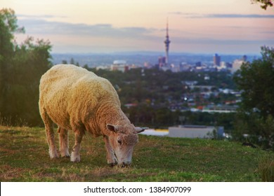 A sheep grazing on Mount Eden, Auckland, New Zealand during sunset. In the background the Sky Tower rises over the biggest city of the country. Sheep are one of New Zealand's most exported products.