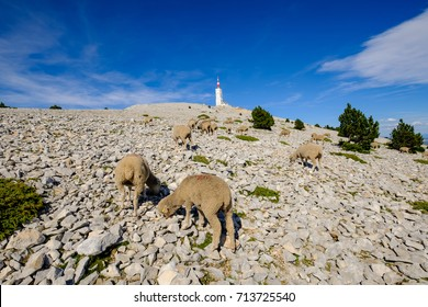 The sheep grazing on the mountain. The Mont Ventoux, Provence, France.
