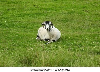 Sheep grazing on the Peak District moors