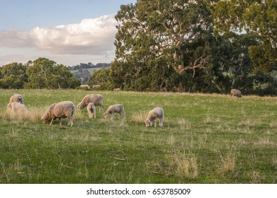 Sheep grazing on rural South Australian farmland pasture